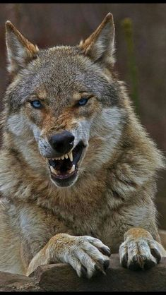 Son and heir of nothing in particular. - Son and heir of nothing in particular. Son and heir of nothing in particular. Wolf Images, Wolf Photos, Wolf Pictures, Animal Pictures, Beautiful Wolves, Animals Beautiful, Cute Animals, Wolf World, Angry Wolf