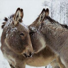 Almanac Donkeys In The Snow Christmas Cards, Pack of 8 Baby Donkey, Cute Donkey, Mini Donkey, Farm Animals, Animals And Pets, Cute Animals, Cute Creatures, Beautiful Creatures, Beautiful Horses