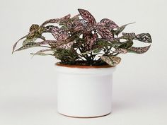 Polka Dot Plant The adorable and easy-to-care-for polka dot plant is a great companion for your other small indoor plants.