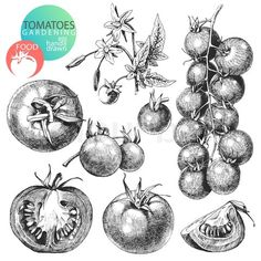 tomato plant drawing | Tomato Plant Sketch Drawn tomatoes isolated on