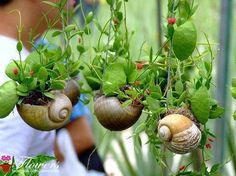 Snail shell flowers