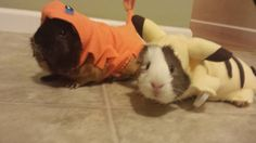 My friend has pokemon costumes for her guinea pigs - Imgur