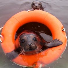 Image of the Day: Seals get a helping hand in the water - not enough squee!
