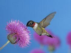 Ruby Throated Hummingbird, Feeding from Flower, USA