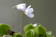 Bijeli poljski cvijetići (5)
