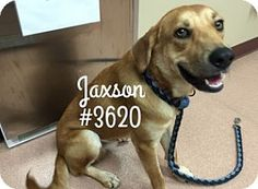 Jaxson - URGENT -  Alvin Animal Adoption Center in Alvin, Texas - ADOPT OR FOSTER - Adult Male Shepherd Mix