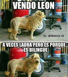 Vendo león
