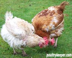 Rehoming ex-battery hens -- and some of the things to watch out for when keeping them [Poultrykeeper.com, UK site]