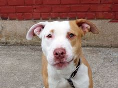 TO BE DESTROYED - 05/09/14Brooklyn Center -PMy name is ROCKY. My Animal ID # is A0998011.I am a male tan and white pit bull mix. The shelter thinks I am about 11 MONTHS old.I came in the shelter as a STRAY on 04/28/2014