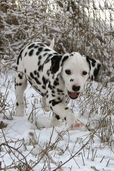 5 Amazing Dalmatian Puppies