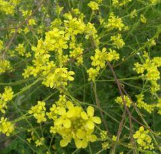 hirschfeldia incana (Rabaniza amarilla) Hierba anual muy ramificada que puede superar el metro de altura. Florece en abril-junio.