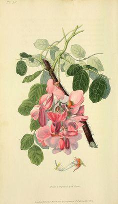 n155_w1150 | Flora conspicua London :Longman, Rees, Orme, Br… | Flickr