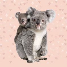 koala katoen