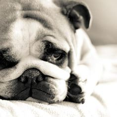 Sad bulldog