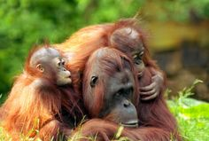 Orangutan Forest Protection Strategies Require Greater Efforts - Science News - redOrbit