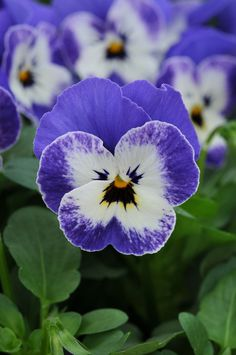 Sorbet Delft Blue Viola from PanAmerican Seed