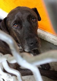Handsome Lab showing signs of depression at California high kill shelter