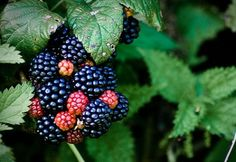 Blackberries... berries, fresh jam, pie, loved picking them late August, early September in Washington