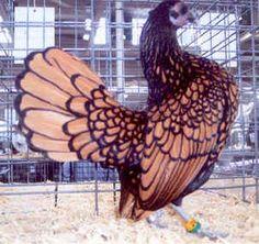 Sebright Chicken, Golden
