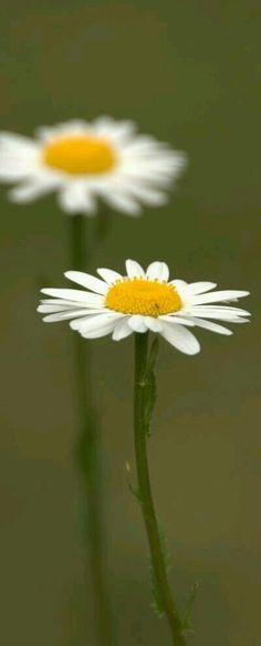 Daisy love.....