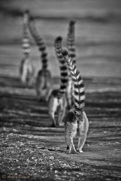 """Troop Movement"" - Ring-tailed lemur (Lemur catta) by Ashley Vincent on Primates, Mammals, Beautiful Creatures, Animals Beautiful, Cute Animals, Photo Animaliere, All Gods Creatures, Fauna, Nature Animals"