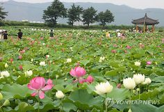 Lotus flowers in Gyeongju-si, Korea, one of the recommended destinations in our book 'Seoul Sweet Seoul'! http://amzn.to/HQeH1B
