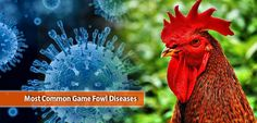 Game fowls are generally strong and healthy, but they are also susceptible to diseases like ordinary chickens. Let us share you some of the most common diseases Game Fowl, Most Common, Chicken, Games, Animals, Animales, Animaux, Gaming, Animal