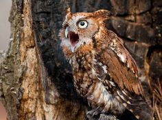 Sometimes wise, sometimes shouting (often neither) Picture of an eastern screech-owl vocalizing in North Carolina