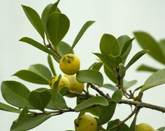 Araçá (Psidium araca Raddi, Myrtaceae) Origem: Brasil