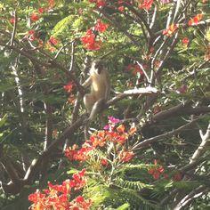 Bajan green monkey posing for his shot while eating dinner #prideofbarbados