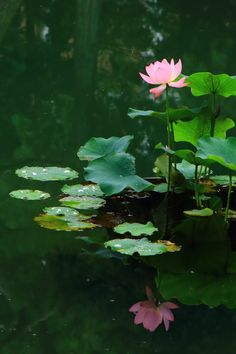 © LotusHealingSanctuaryYou can find Lotus and more on our website. Flowers Nature, Wild Flowers, Lotus Flowers, Lotus Flower Wallpaper, Nymphaea Lotus, Lotus Flower Pictures, Lotus Painting, Lotus Pond, Lily Pond