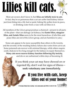 Lillies kill cats!!!  I did NOT know this!!!!  I LOVE Stargazer Lillies and I have cats!  Scary!