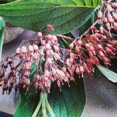 #syringamicrophylla #sprig #shrub #krzew#gałązka #przyroda #nature #green