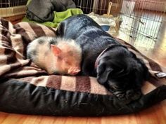 Pig and Pup
