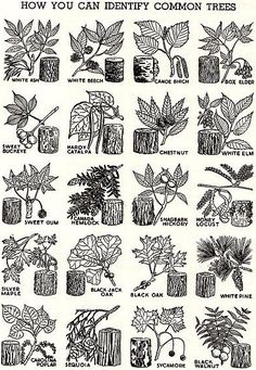 Tree and plants Trees And Shrubs, Trees To Plant, Garden Trees, Garden Plants, Botanical Art, Botanical Illustration, Leaf Identification, Plant Science, Nature Journal