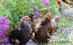 How to have happier chickens, 11 tips to make it easy! My flock is a happy little bunch and it makes my day to sip my coffee and enjoy their shenanigans. Herbs For Chickens, Raising Backyard Chickens, Urban Chickens, Backyard Chicken Coops, Keeping Chickens, Chicken Eating, Chicken Feed, Chicken Runs, Gallus Gallus Domesticus