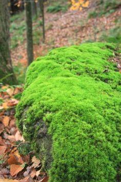 Tree Nursery Company - Rock Cap Moss, $3.99 (http://www.treenurseryco.com/rock-cap-moss/)
