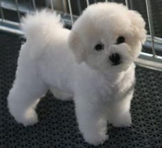 Bichons: The Bichon Frise (pronounced BEE-shawn FREE-say; the plural is Bichons Frises) is a cheerful, small dog breed with a love of mischief and a lot of love to give.