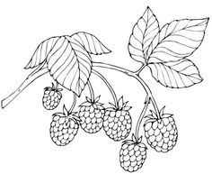 Red Raspberry coloring page from Raspberry category. Select from 29062 printable crafts of cartoons, nature, animals, Bible and many more.