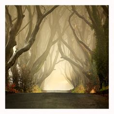 landscapelifescape:    The Dark Hedges - Northern Ireland  The Dark Hedges ..Misty by Klarens-photography