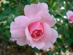 #beauty #blooming #flora #flower #garden #love #nature #pink #plant #romance #rosaceae #rose #thorny #valentine day #wedding