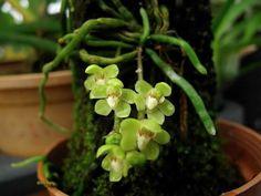 Удивительная Орхидея Хилошиста (Chiloschista) уход в домашних условиях!