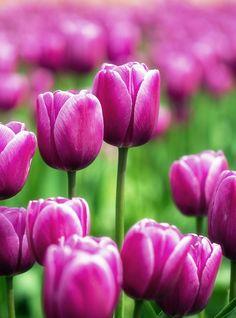 Tulips   by Shaury Rastogi on 500px