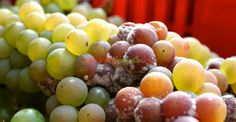 Gradul de îmbolnăvire al strugurilor poate devansa momentul culesului Paradis, Vines, Fruit, Food, Green, Eten, Meals, Grape Vines, Vitis Vinifera
