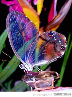 The amber phantom butterfly (Haetera piera), found in the Guianas, Brazil, Ecuador, Peru, Bolivia and Venezuela.