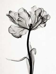 steven meyers . x-ray image of a parrot tulip