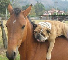 Bulldog and a horse- Kylee will go nuts over this photo. Her 2 favorites in one pic and the bulldog looks pretty darn similar to our Tank.