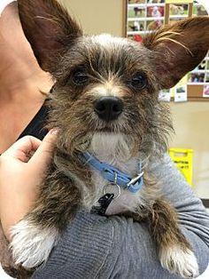 Thousand Oaks, CA - Norwich Terrier Mix. Meet Scout, a dog for adoption. http://www.adoptapet.com/pet/12351074-thousand-oaks-california-norwich-terrier-mix