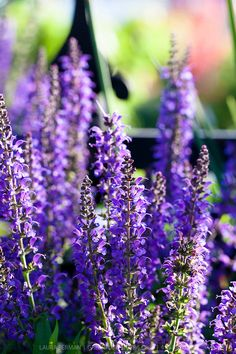 Salvia x sylvestris 'Mainacht'. Hardy. Full sun & well-drained soil. Masses of indigo violet flower spikes in May and June rise from clumps of green heavily veined leaves. Height 60cm. Spread 45cm.