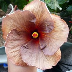 Hibiscus Midnight flyer Hibiscus, Brown, Plants, Brown Colors, Planters, Plant, Planting